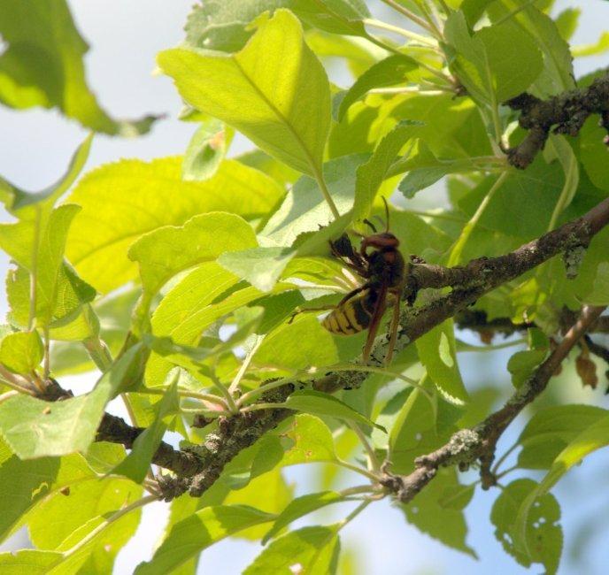 Sirsenis bišu medībās